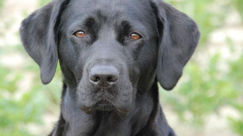 Allevamento Labrador con Certificato di Razza a Milano